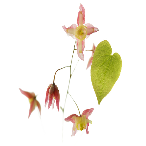 Barrenwort (Epimedium rubrum) flower