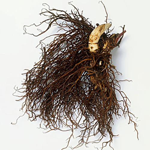 Roots from Cimicifuga racemosa (Black cohosh), close-up