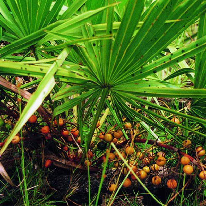 Extracto de Saw Palmetto - Serenoa Repens - Hekma Center