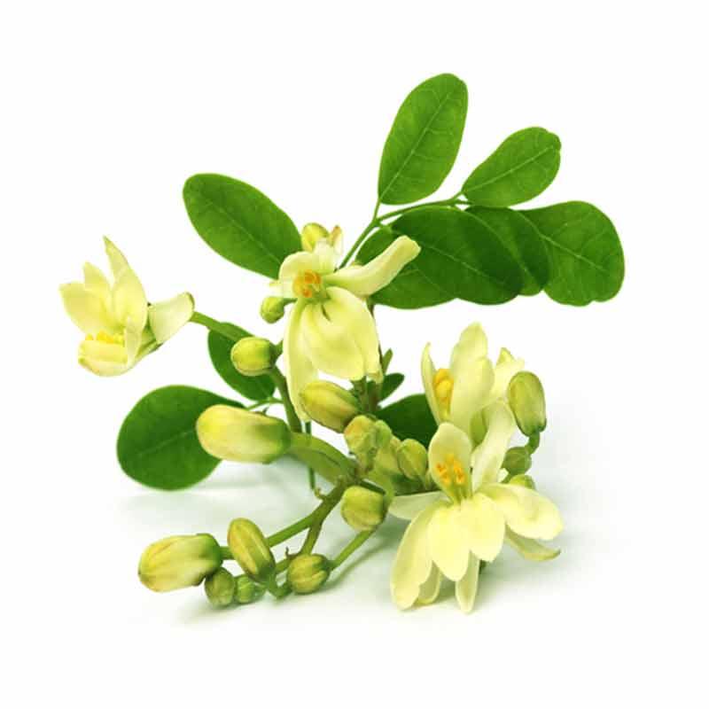 Moringa Oleifera leaves