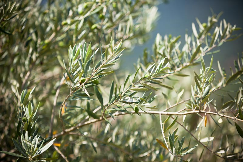 Blessed Olive Leaves –Benefits and Uses